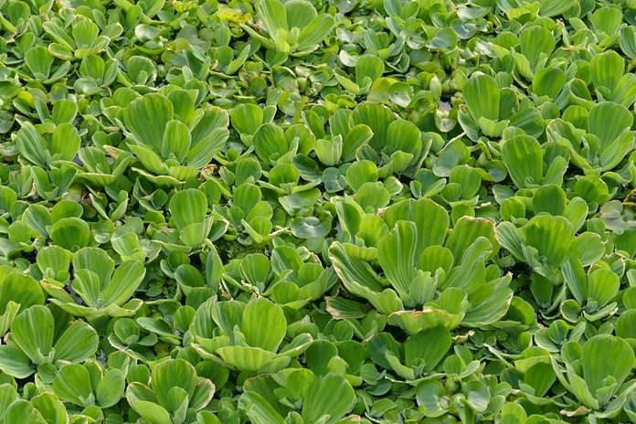 tanaman hias air