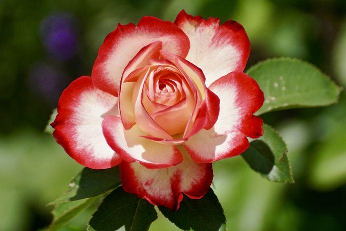 cara kawin silang bunga mawar