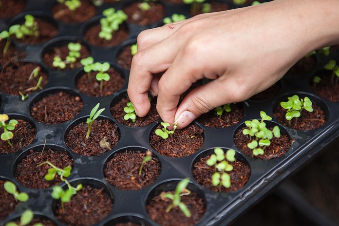cara membuat media semai tanaman hortikultura