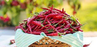 Meningkatkan hasil panen cabai di musim kemarau