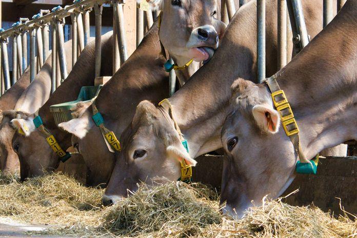 Cara meracik jamu untuk ternak sapi