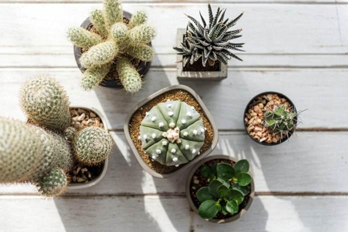 cara merawat kaktus hias