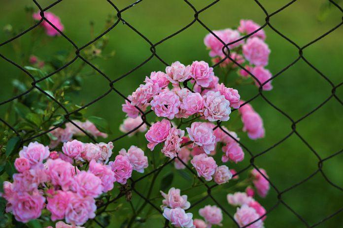 tanaman penghias pagar