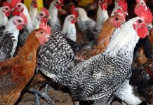 cara ternak ayam arab petelur
