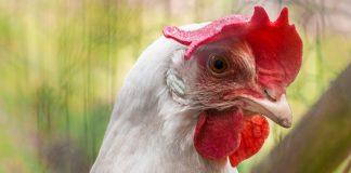 cara agar ternak ayam potong cepat panen