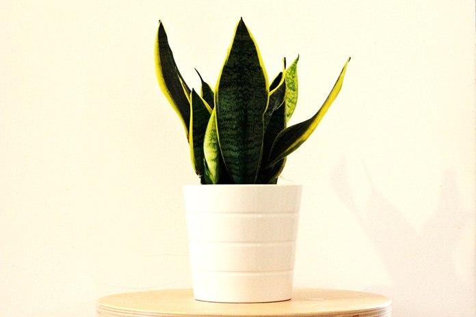 tanaman hias tahan panas