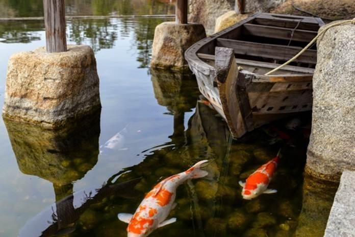 ikan koi mati