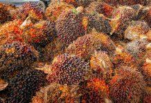 diskriminasi kelapa sawit