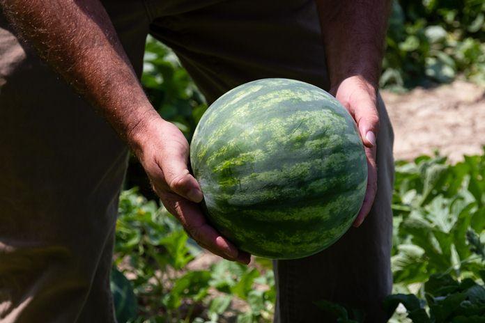 ekspor semangka ke Timor Leste