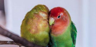 beauty contest lovebird