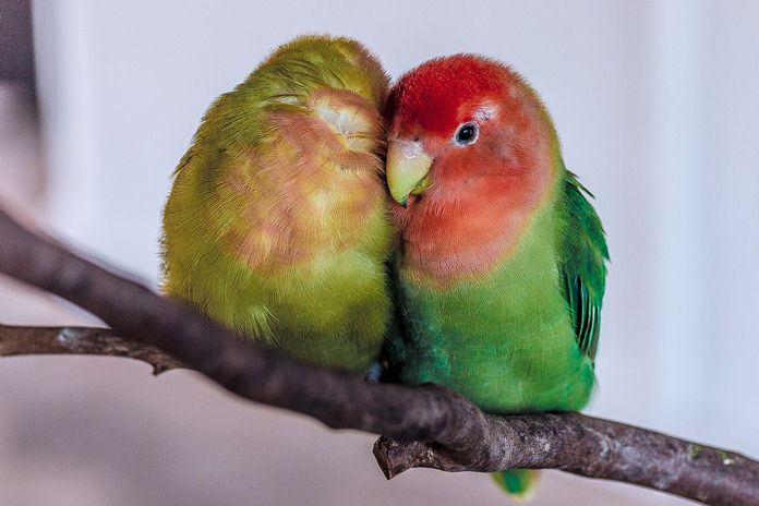 beauty contest lovebird