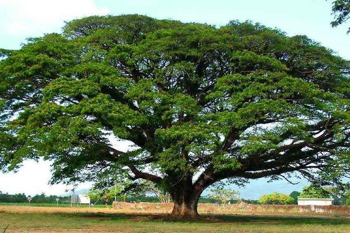 pohon yang paling efektif menyerap polusi