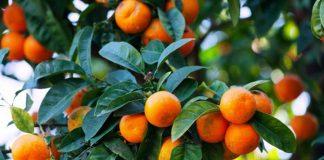 jenis jeruk manis