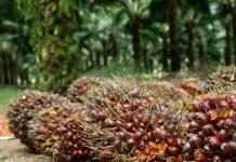 kegunaan pupuk dolomit untuk tanaman kelapa sawit