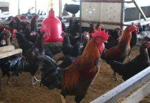kelebihan dan kekurangan ternak ayam KUB