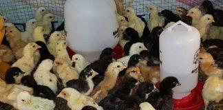 keunggulan dan kekurangan ternak ayam joper