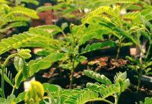 manfaat pohon sengon