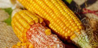 limbah tongkol jagung