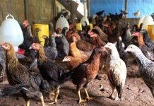 penyebab stres pada ayam kampung