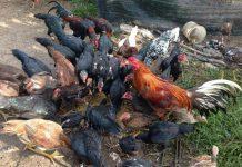 Prospek bisnis ayam kampung