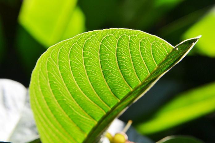 menghilangkan rasa pahit daun pepaya