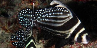 ikan hias air payau