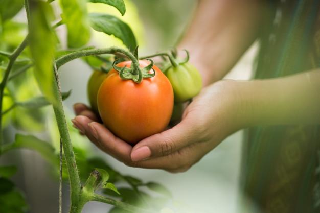 penggolongan varietas tomat