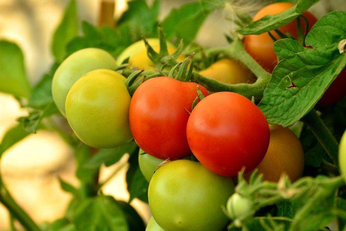 bertanam tomat menggunakan potongan batangnya