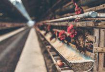 teknik membersihkan kandang ayam petelur