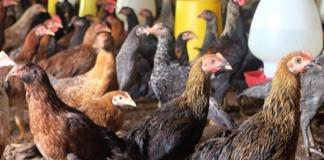 beternak ayam kampung di pemukiman penduduk