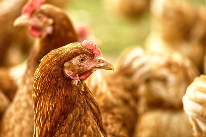tips memilih pakan ayam layer