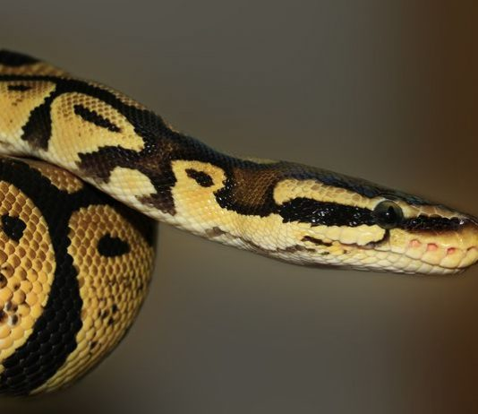 cara merawat ular peliharaan
