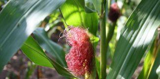 trik agar jagung manis berbuah lebat