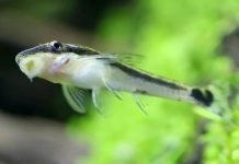 ikan pembersih akuarium