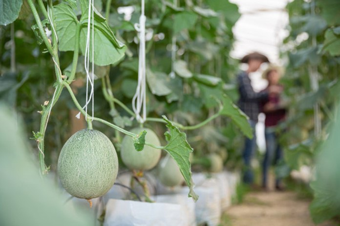 kultivar melon unggul