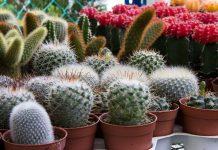jenis kaktus mini