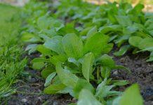 tanaman ajaib pencegah kanker payudara dan serviks