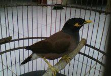 Bisnis burung kicau