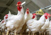 strategi pemasaran ayam potong