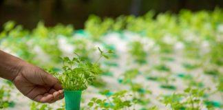 Hama tanaman hidroponik