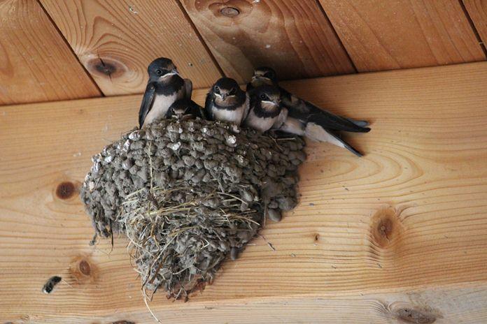 siklus hidup burung walet
