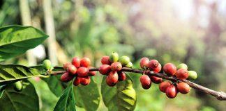 karakteristik kopi arabika