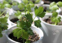 tanaman herba hias