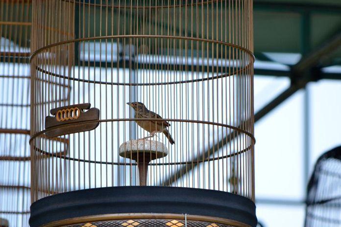 Cara membuat sangkar burung kicau