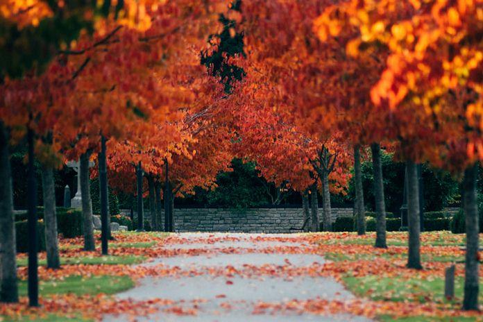 menanam pohon maple