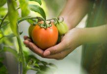 Kematangan buah tomat