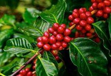 pemanfaatan kulit kopi
