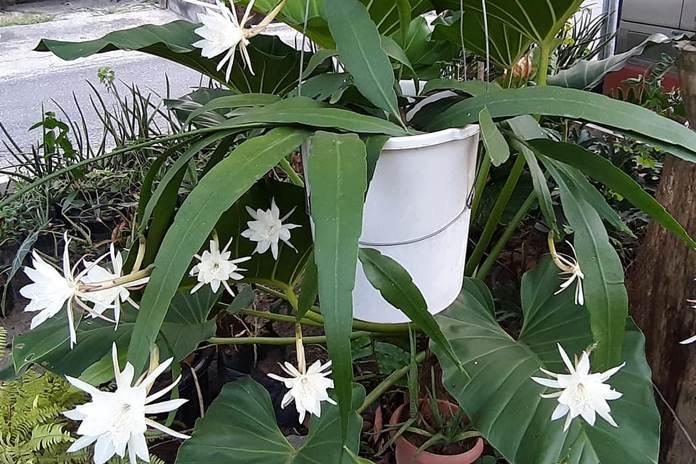 tanaman hias harum