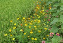 tanaman refugia si penarik serangga secara