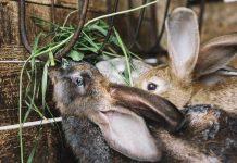 memilih pakan kelinci
